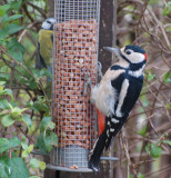 Great spotted Woodpecker - male