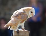 Worzel - the Barn Owl.