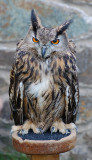 Hoo Hoo the Eagle Owl.