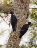Northern Sooty Woodpecker (female-left, male-right) (Mulleripicus funebris)