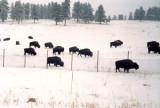 Bison along I-70, Colorado