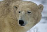 Polar Bears Churchill Monitoba