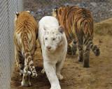 tigers of color orig 035 a 8x10.jpg