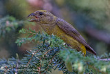 Red Crossbill (Type 3)
