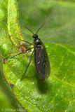 Dark-winged Fungus Gnat (female)