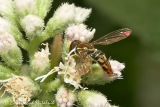 Syrphid Fly (male)