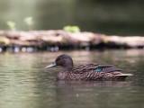 meller's duck  (Anas melleri - endangered species)