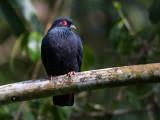 madagascar blue pigeon  Alectroenas madagascariensis