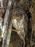 rainforest scops owl  Otus rutilus