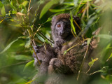eastern grey bamboo lemur  Hapalemur griseus