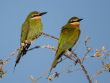 olive bee-eater  Merops superciliosus