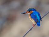 malagasy kingfisher  Corythornis vintsioides