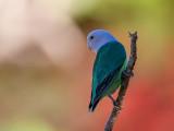 grey-headed lovebird  Agapornis canus