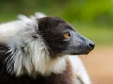 black-and-white ruffed lemur  Varecia variegata