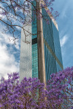 Jacaranda and city building