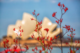 Kangaroo paw and Sydney Opera House backdrop