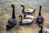 Black swans and cygnets at Manly Dam