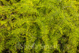 Ferns at Manly Dam