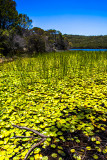 Manly Dam water lily beds