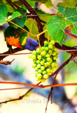 Rainbow lorikeet with checking grapes on deck