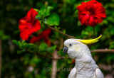Sulphur crested cockatoo with red hibiscus