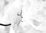 Sulphur crested cockatoo in monochrome
