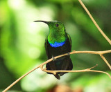 Green-throated Carib - Eulampis holosericeus