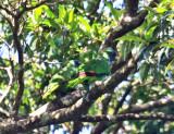 Red-necked Parrot - Amazona arausiaca