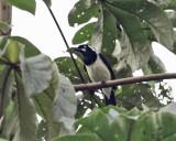 Cayenne Jay - Cyanocorax cayanus