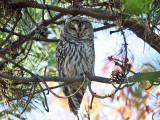Barred Owl - Strix varia