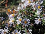 American Coppers - Lycaena phlaeas