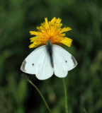 Cabbage White - Pieris rapae