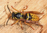 Vespula flavopilosa (queen)