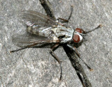 Eustalomyia sp.