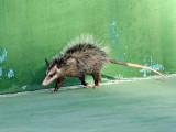 Common Opossum - Didelphis marsupialis