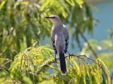 Tropical Mockingbird - Mimus gilvus