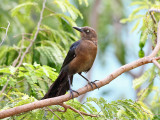 Great-tailed Grackle - Quiscalus mexicanus (female)