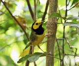 Hooded Warbler - Setophaga citrina