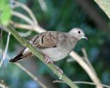 Ruddy Ground-Dove - Columbina talpacoti (female)