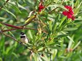 White-collared Seedeater - Sporophila torqueola