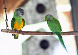 Senegal & Ring-necked Parakeet (caged birds at the resort)