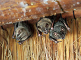 Artibeus lituratus (Great fruit eating bat)