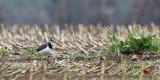 Northern Lapwing - Vanellus vanellus