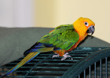 Rocky the Jenday Conure