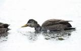 American Black Duck - Anas rubripes