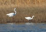 Little Egret - Egretta garzetta & Great Egret - Ardea alba