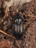 Agonum melanarium