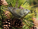 Red Crossbill - Loxia curvirostra (female)