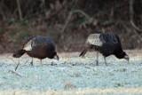 Wild Turkeys - Meleagris gallopavo