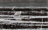 Great Blue Heron - Ardea herodias         & Wood Duck - Aix sponsa